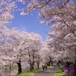 斐伊川堤防桜並木(日本さくら名所100選)